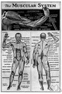 muscular structure - the muscular system of an organism