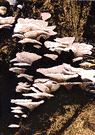 oyster mushroom - edible agaric with a soft greyish cap growing in shelving masses on dead wood