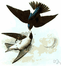 white-bellied swallow - bluish-green-and-white North American swallow