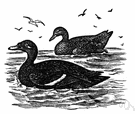 scoter - large black diving duck of northern parts of the northern hemisphere