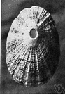 Keyhole limpet - marine limpet having a conical shell with an opening at the apex