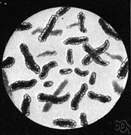 bacillus - aerobic rod-shaped spore-producing bacterium
