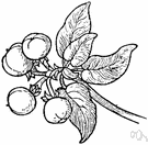 cascara buckthorn - shrubby tree of the Pacific coast of the United States