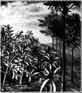 genus Cordaites - tall Paleozoic trees superficially resembling modern screw pines