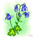 delphinium - any plant of the genus Delphinium having palmately divided leaves and showy spikes of variously colored spurred flowers