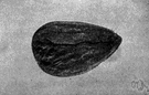 amygdaloid - shaped like an almond