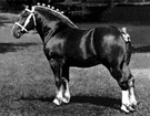 Draught horse - horse adapted for drawing heavy loads