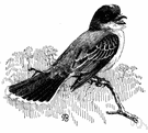 eastern kingbird - a kingbird that breeds in North America and winters in tropical America