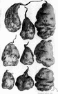 potato family - large and economically important family of herbs or shrubs or trees often strongly scented and sometimes narcotic or poisonous