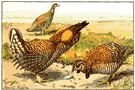 heath hen - extinct prairie chicken