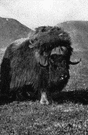 genus Ovibos - consisting of the musk-ox