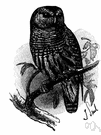 genus Strix - owls lacking ear tufts