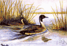 pin-tailed duck - long-necked river duck of the Old and New Worlds having elongated central tail feathers