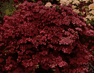 azalea - any of numerous ornamental shrubs grown for their showy flowers of various colors