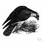 Pernis apivorus - Old World hawk that feeds on bee larvae and small rodents and reptiles