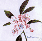 Kalmia latifolia - a North American evergreen shrub having glossy leaves and white or rose-colored flowers