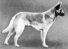 malinois - fawn-colored short-haired sheepdog
