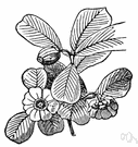 clusia - an aromatic tree of the genus Clusia having large white or yellow or pink flowers