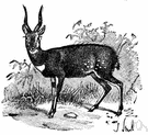 nyala - spiral-horned South African antelope with a fringe of white hairs along back and neck