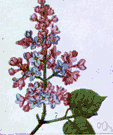 lilac - any of various plants of the genus Syringa having large panicles of usually fragrant flowers