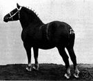 thoroughbred - a pedigreed animal of unmixed lineage