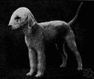 Bedlington terrier - a light terrier groomed to resemble a lamb