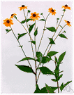 genus Rudbeckia - North American perennial herbs with showy cone-shaped flower heads
