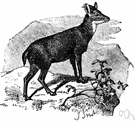 goral - small goat antelope with small conical horns