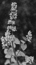 catmint - hairy aromatic perennial herb having whorls of small white purple-spotted flowers in a terminal spike