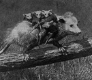 opossum - small furry Australian arboreal marsupials having long usually prehensile tails