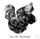 seed oyster - a young oyster especially of a size for transplantation