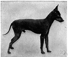 toy Manchester - breed of small Manchester terrier