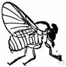 simulium - type genus of the Simuliidae: blackflies