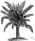 true sago palm - Malaysian palm whose pithy trunk yields sago--a starch used as a food thickener and fabric stiffener