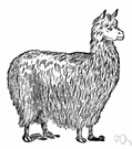 alpaca - wool of the alpaca