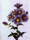 New York aster - North American perennial herb having small autumn-blooming purple or pink or white flowers