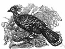 hoactzin - crested ill-smelling South American bird whose young have claws on the first and second digits of the wings