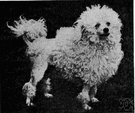 toy poodle - the breed of very small poodles