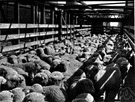 stockyard - enclosed yard where cattle, pigs, horses, or sheep are kept temporarily