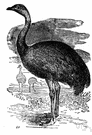 rhea - smaller of two tall fast-running flightless birds similar to ostriches but three-toed