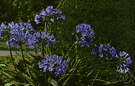 agapanthus - any of various plants of the genus Agapanthus having umbels of showy blue to purple flowers