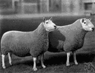 Cheviot - hardy hornless sheep of the Cheviot Hills noted for its short thick wool