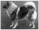 keeshond - a spitz-like dog having a shaggy greyish coat and tightly curled tail originating in Holland