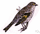 Spinus pinus - small finch of North American coniferous forests
