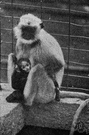Presbytes entellus - langur of southern Asia