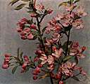 Iowa crab apple - wild crab apple of western United States with fragrant pink flowers