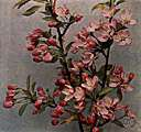 Malus ioensis - wild crab apple of western United States with fragrant pink flowers