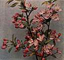 western crab apple - wild crab apple of western United States with fragrant pink flowers