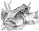 genus Scaphiopus - New World spadefoot toads