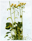 golden ragwort - weedy herb of the eastern United States to Texas having golden-yellow flowers